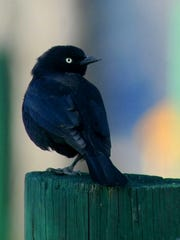 A Brewer's blackbird hangs out at Lake Casitas.