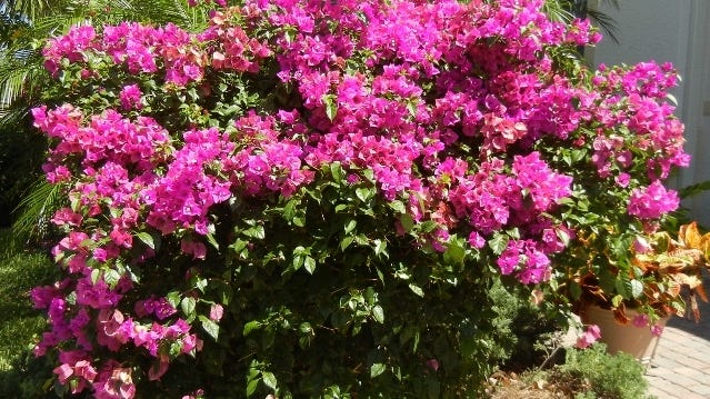 Barbara Karst bougainvillea is not the ideal cultivar to place next to a driveway or sidewalk.