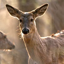 Deer cull planned at University of Michigan Dearborn