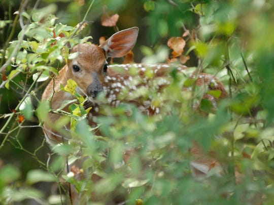 If a doe does not have fawns, it is most likely due to nutrition stress, not because she is barren.