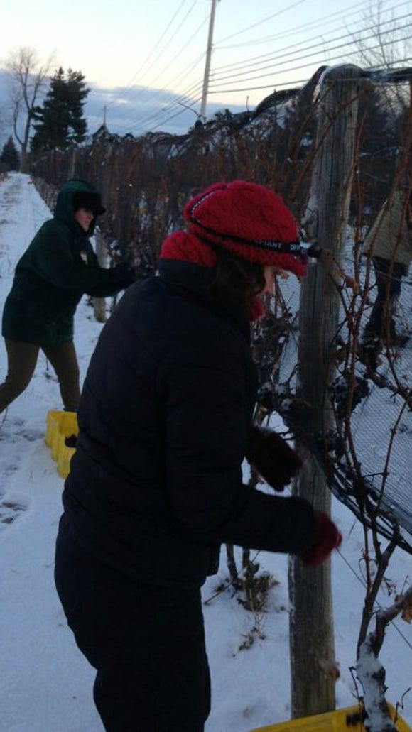 Here I am! Harvesting ice wine grapes in three layers, a red hat and a handy head lamp I borrowed from the vineyard team. It was very important at 4:00 a.m., but not as important in this photo.