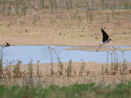 Hikers got a great view of this black-winged stilt