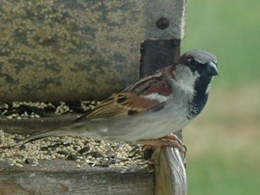 636603403476742400-house-sparrow.jpg
