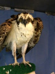A female osprey is recovering at the Florida Wildlife