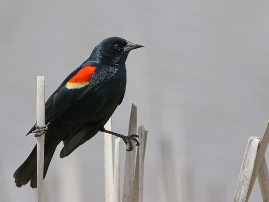 A male red-winged blackbird doing the splits.