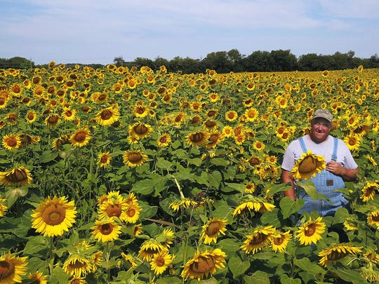 In this Aug. 9, 2017 photo Russ Grollemond, farm manager at Barrington Hills Farm stands  in one of two sunflower fields located in Barrington Hills, Ill. In addition to providing a vibrant visual along the village's country lanes, these fifty acres of sun-worshipping plants play a practical role in the conversion of the nearly 700-acre the farm to transfer it to purely organic. Among the criteria for organic certification is the soil must be found to be chemical-free, and sunflowers are among the species that can help expedite that process, experts say.