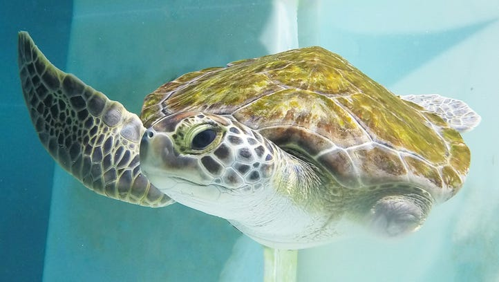 Meet Sweet Pea! She's the Navarre Beach Sea Turtle Conservation Center's new resident