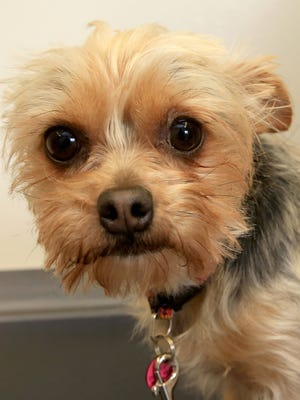 A Yorkshire Terrier is shown in this photo illustration