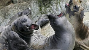 In this May 12, 2005, file photo, a herd of elephant seals lounge in a slumbering pile in a sandy cove on the Southeast Farallon Island at the Farallon Islands National Refuge, Calif.