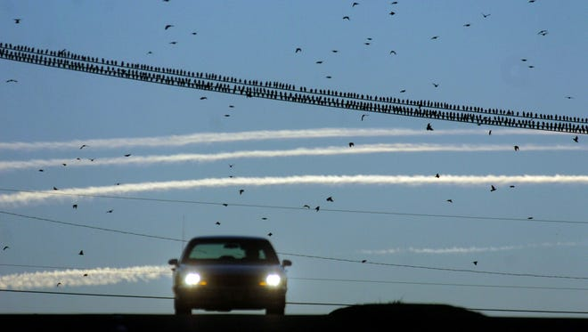Starlings are seen shoulder to shoulder along power lines as jet contrails offer a contrast for motorists in Knoxville, Tenn.