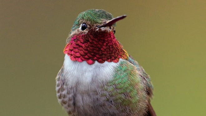 Hummingbirds have begun showing signs of readying for their annual migration.