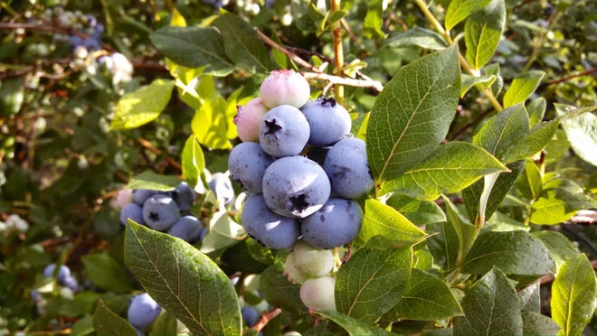 Michigan is one of America's largest producing blueberry states.