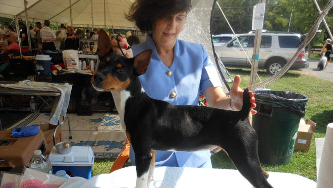 Grand Champion River Ridge Winning Ways, a rat terrier from Yonkers, will compete in the Westminster dog show.