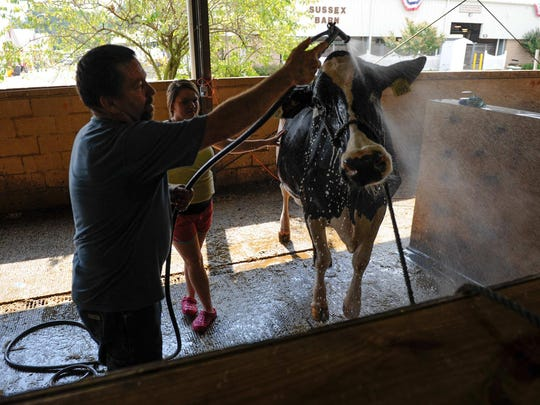 CK Kerrick and his daughter Jaycie Kerrick, 16, of Greenwood rise off their cow after it's morning bath at the Delaware State Fair in Harrington.