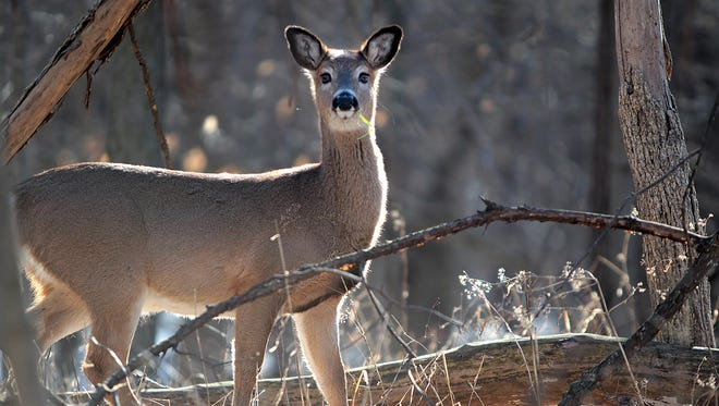 A deer stops to check its surroundings at Eagle Creek Park in February. It had gathered with several other deer for a morning graze.
