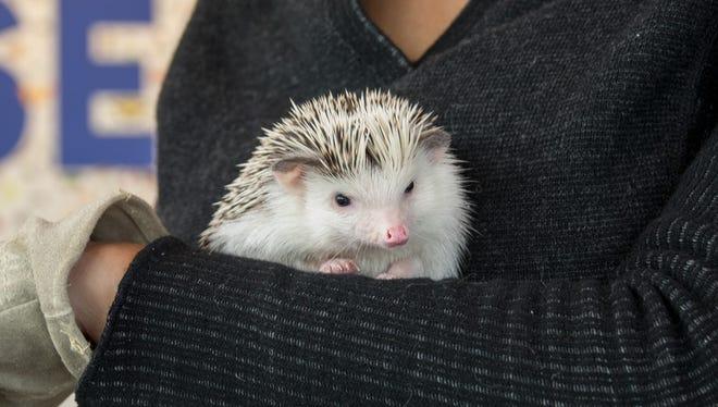 FuFu, an African pygmy hedgehog at the Oregon Zoo