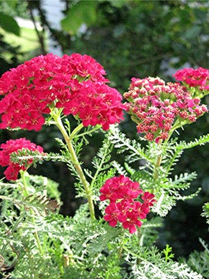Achillea 'Pomegranate' – Tutti Frutti Yarrow Clusters of tiny pomegranate red blooms with yellow centers atop soft, grey-green foliage.  The Tutti Frutti Series of Yarrows were recently bred in the Netherlands. Plants are compact and bushy, with very uniform blooming over a long season. This selection has clusters of flowers that rich pomegranate red, holding the color well. One of the best Yarrows for growing in containers.