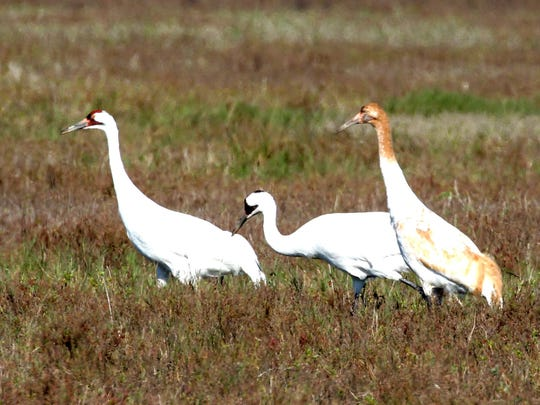 The Rockport Whooping Crane Strut will start at 8 a.m. Saturday at Memorial Park. The event will include 2-mile walk, 5k run and 10k run routes. Entry fee is $25 in advance and $30 on the day of the race. For more information, visit cityofrockport.com/544/Whooping-Crane-Strut.