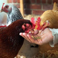 Don't kiss the chickens. Here's why.