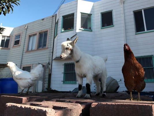 Backyard Chicken Farming In Urban Areas Gains In Popularity