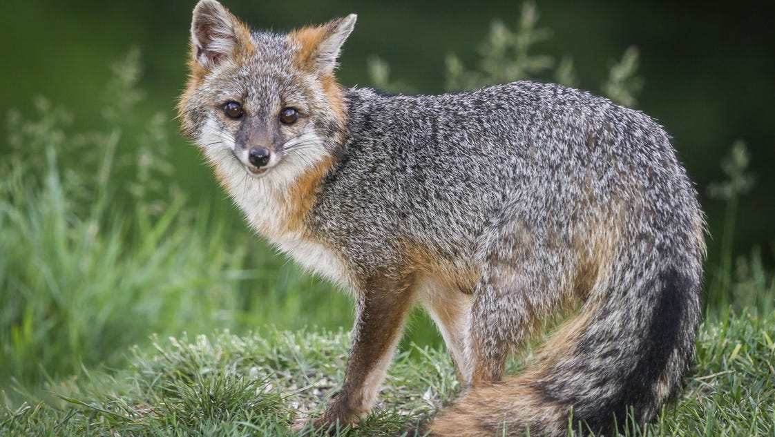 Gray fox hunting, trapping OK'd by Delaware House