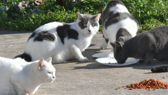 A number of cats roam in the Sun Lake Village Estates neighborhood in Sharpes, where a concerned resident has taken over feeding the animals since the death of a homeowner who'd fed them before her death. She is trying to get home for the cats, or to get them relocated.