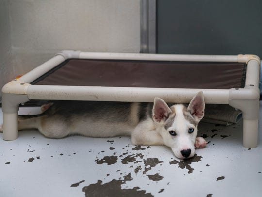 A puppy named Sansa sits under a bed in the kennel