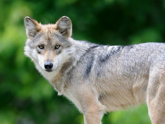 Mexican gray wolf staring at camera in nature