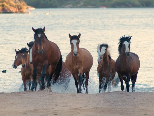 culling of wild horses allowed by congressional panel wild mustangs in oklahoma wild mustangs running