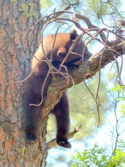 The cub decides to take a nap, secure on his limb.