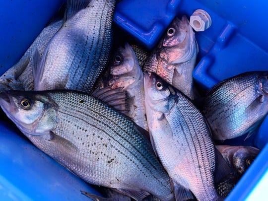 The annual white bass run on the Sandusky River brings