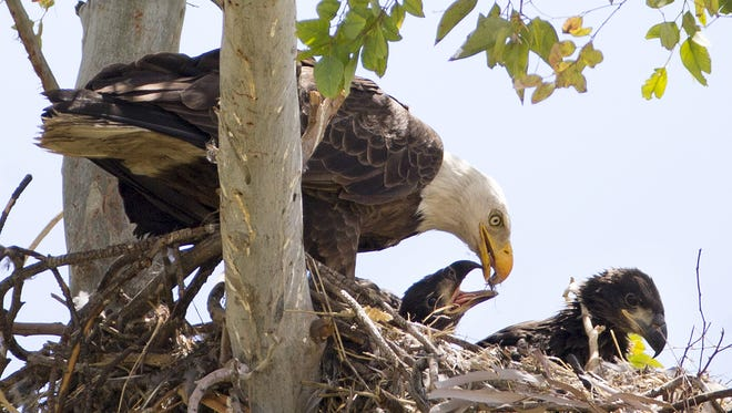 A bald eagle feeds her two hatchlings in their nest at a Scottsdale golf course in April 2016.