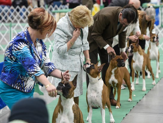 Handlers stand with their dogs during boxer breed competition