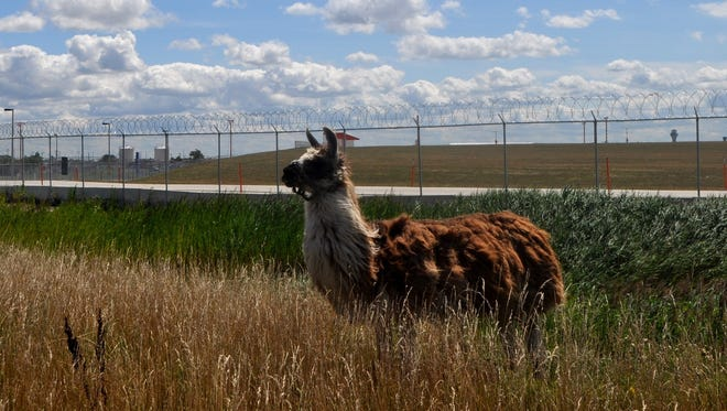 A llama on duty at Chicago's O'Hare International Airport.