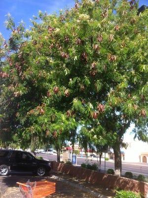 The tree in the photo is of Leucaena leucocephala or white leadtree.