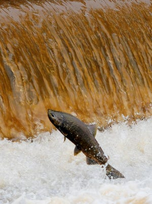 Chinook salmon are migrating up the Kewaunee River to spawn at the Besadny Anadromous Fish Facility.