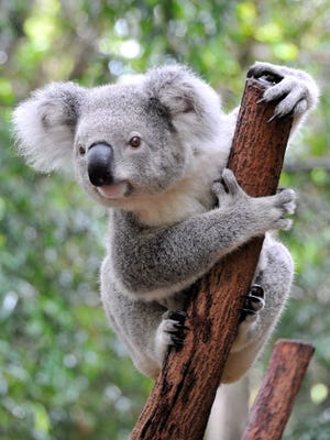 Using thermal cameras, researchers in Australia found that koala bears hug trees to cool themselves.