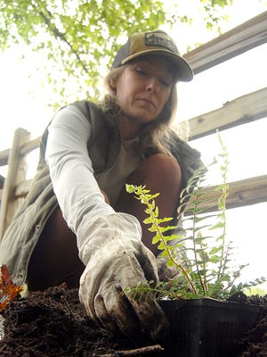 Gig Harbor, Washington, resident Megan Kirby helps plant sword ferns and huckleberry starts along a hillside.