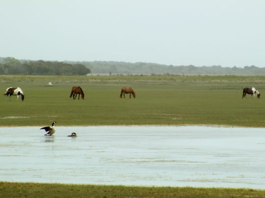 "Courtesy of ""The Wild Ponies of Chincoteague,"" co-directed"