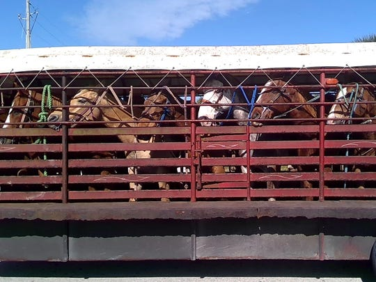 Tours on Horseback tied its horses to its trailer by their bridle reins.