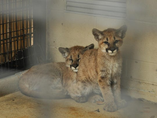 The Alexandria Zoo's new cougar kittens.
