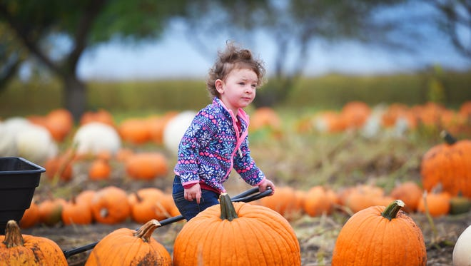Stella Davis, 2, walks through the pumpkin patch looking for a pumpkin at the Country Apple Orchard 20th Annual Harvest Fest, Saturday, Sept. 30, in Harrisburg.