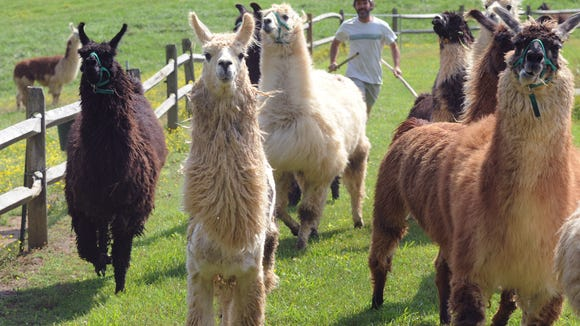 Mark English rounds up llamas at his farm in Brevard before making the trip to Cashiers where they caddy at the High Hampton Inn and Country Club. The English family and their llamas live in Brevard. The Southern States Llama Association is hosting a free Walk-A-Llama Day on Sunday in Flat Rock.