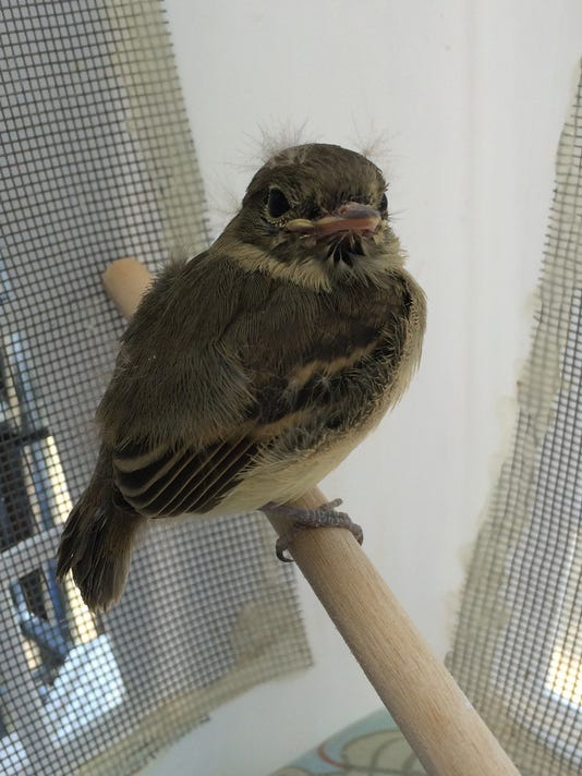 A baby Pacific-slope flycatcher