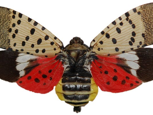 Spotted lantern fly in Pa.: What they are, what to do if ...