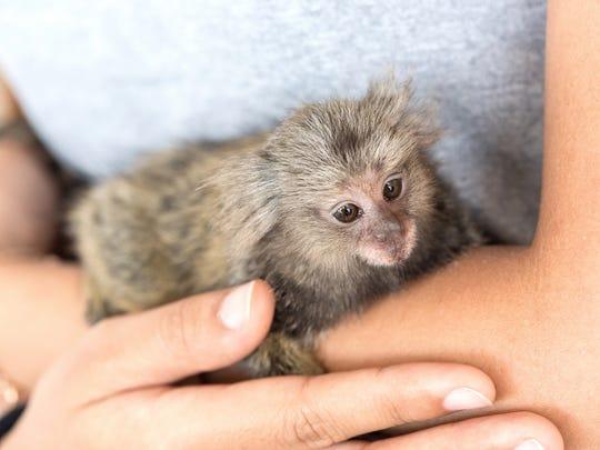 A Common Marmoset Monkey.