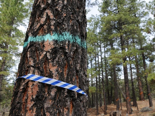 Trees marked with blue tape or blazes are marked for removal to improve forest health.
