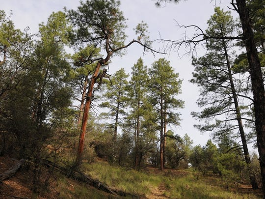 The hike along the Johns Tank Trail in Prescott is shaded by ponderosa pines.