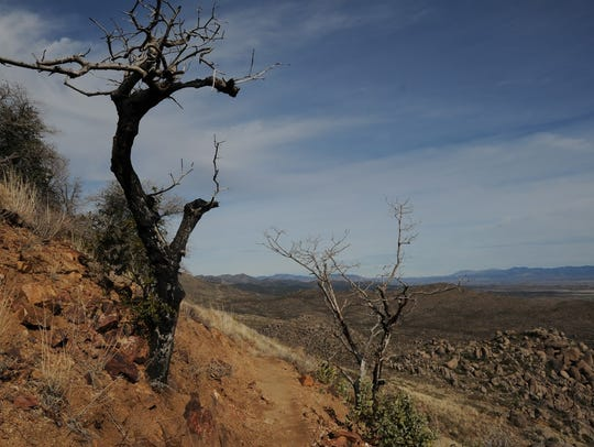 A burned tree lines the Hotshots Trail at Granite Mountain