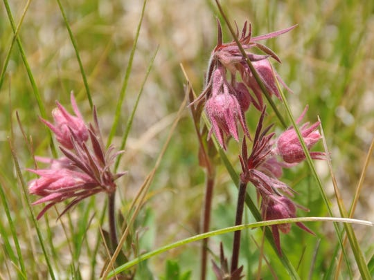 Flowers such as prairie smoke are common along the Thompson Trail in the White Mountains.
